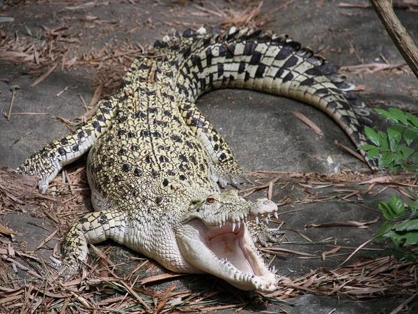 cá sấu  Crododylus porosus