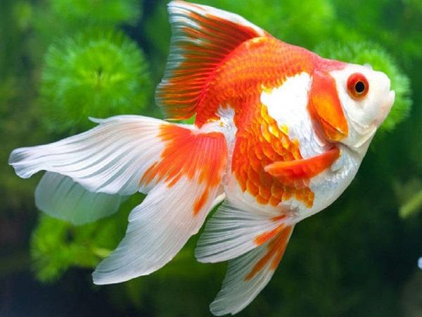 cá vàng không thể chớp mắt