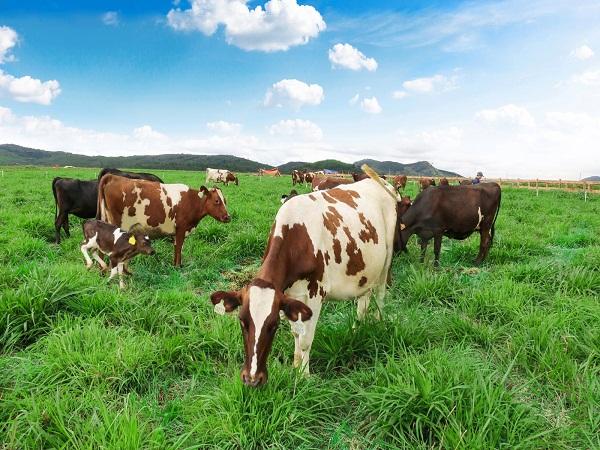 bò sữa có đốm lông khác nhau