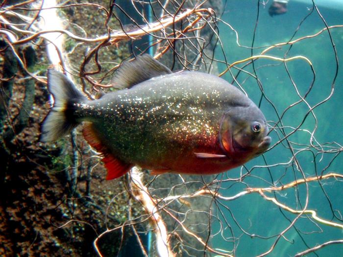 Cá ăn thịt người piranha săn mồi