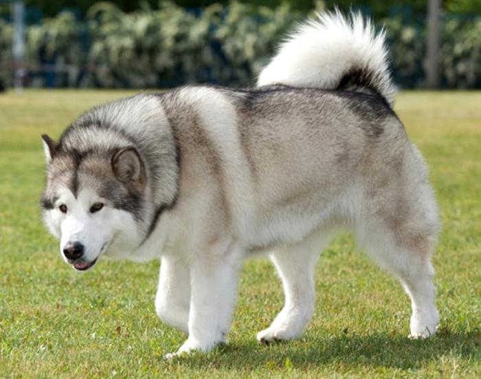 Chó alaska thuần chủng