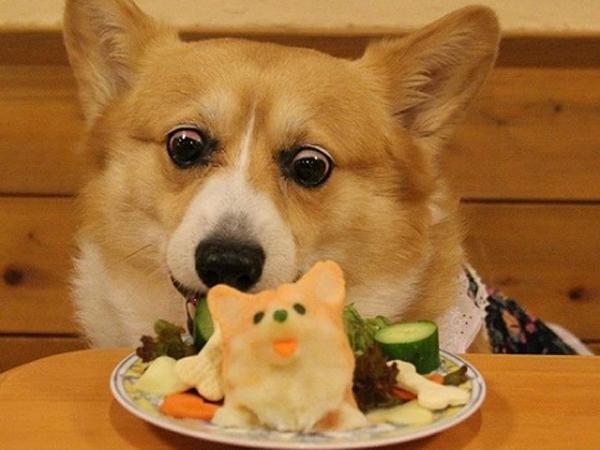 Chế độ ăn uống chó corgi