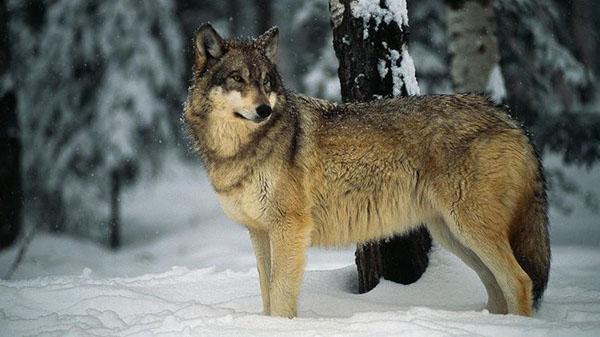 chó sói hoang dã