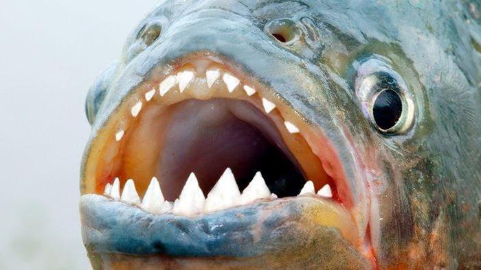 Đặc điểm cá piranha