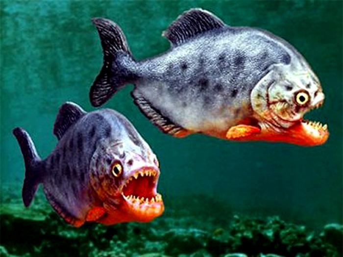 giới tính cá piranha