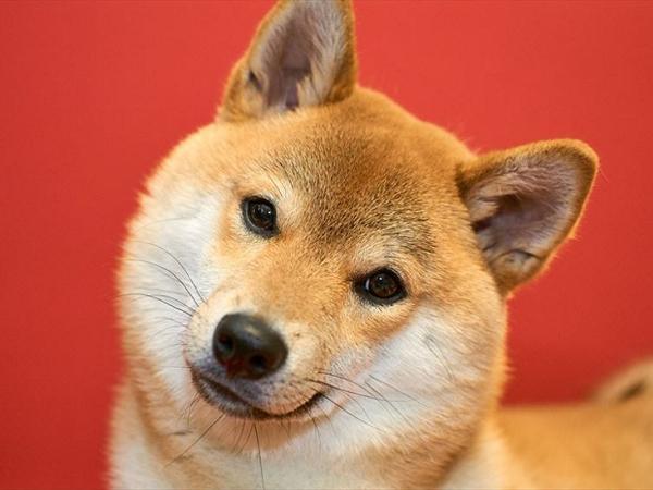 Tìm hiểu về loài chó shiba