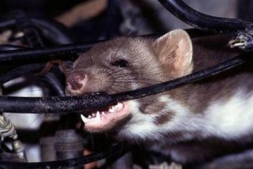 chuột cắn nát hệ thống điện nước 01