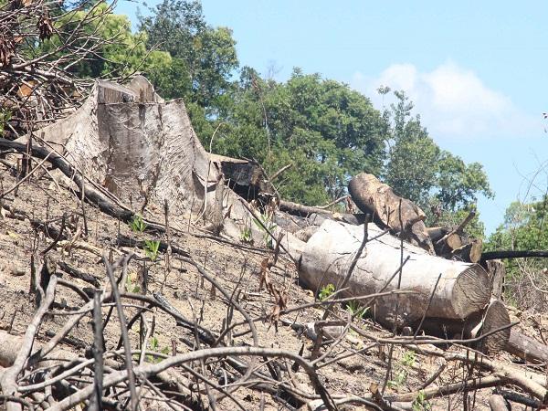 phá rừng 60ha tại bình định